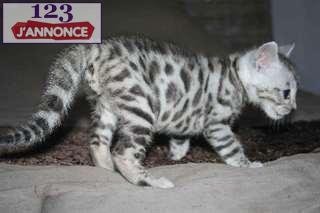 Animaux A Donner Chaton Tigre Bengal Urgemment Ile De France Paris 123jannonce